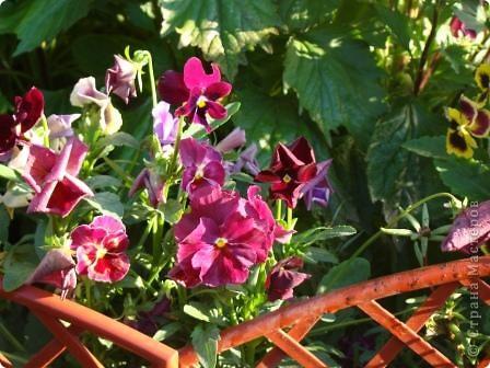 Люблю цветы. Часть 2. Виола. фото 12