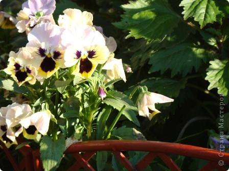 Люблю цветы. Часть 2. Виола. фото 7