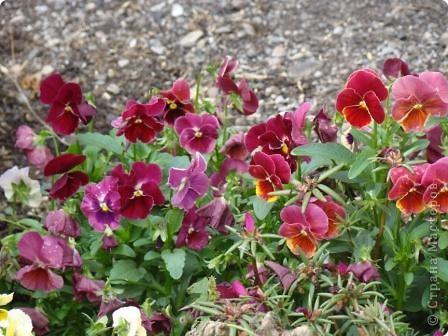 Люблю цветы. Часть 2. Виола. фото 13