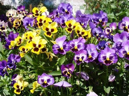 Люблю цветы. Часть 2. Виола. фото 3