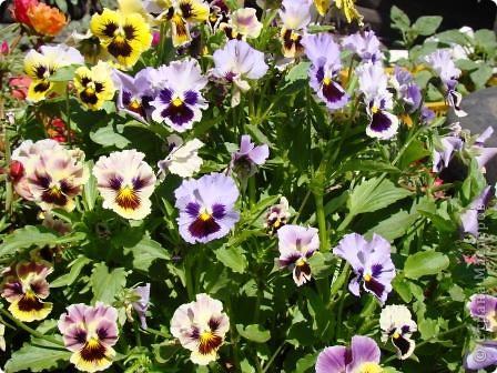 Люблю цветы. Часть 2. Виола. фото 4
