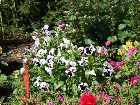 Люблю цветы. Часть 2. Виола. фото 2