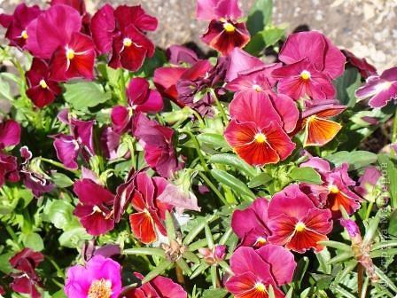 Люблю цветы. Часть 2. Виола. фото 10