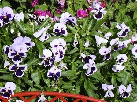 Люблю цветы. Часть 2. Виола. фото 8