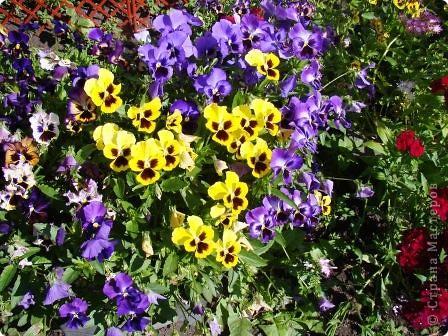 Люблю цветы. Часть 2. Виола. фото 16