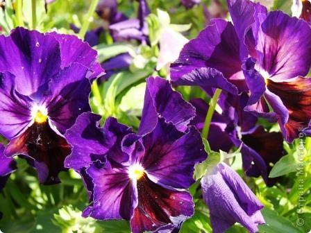Люблю цветы. Часть 2. Виола. фото 14