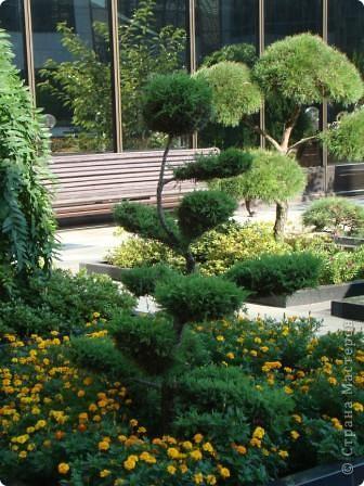 Во внутреннем дворике замечательные клумбы. Очень много хвойных растений посажено. Здесь те, что подстрижены под бонсайки.  фото 7