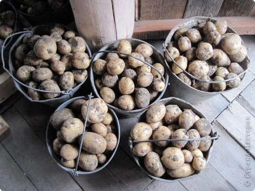 В этом году у нас, как никогда, отличный картофель! Вот какой! Картофелина лежит на ладони мужа. Просто ГИГАНТ! фото 8