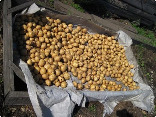 В этом году у нас, как никогда, отличный картофель! Вот какой! Картофелина лежит на ладони мужа. Просто ГИГАНТ! фото 9