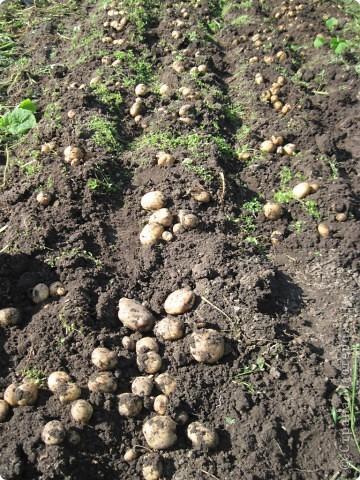 В этом году у нас, как никогда, отличный картофель! Вот какой! Картофелина лежит на ладони мужа. Просто ГИГАНТ! фото 6
