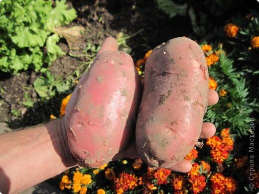 В этом году у нас, как никогда, отличный картофель! Вот какой! Картофелина лежит на ладони мужа. Просто ГИГАНТ! фото 2
