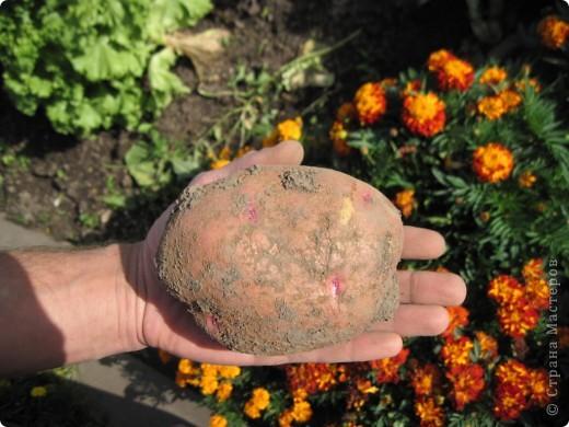 В этом году у нас, как никогда, отличный картофель! Вот какой! Картофелина лежит на ладони мужа. Просто ГИГАНТ! фото 1