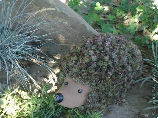 Очень понравились мне поделки для детского творчества из природных материалов. В инете видела ёжика из кактусов, очень он мне понравился, но такого количества кактусов у меня нет, я сходила на луг и нарезала веток репейника целый пакет. Ёжик получился очень красивый, шубку ему «сшила» в два слоя, чтобы тепло было. Вынесла его на альпийскую горку, соседские детишки сразу начали его гладить, смотреть где у него ротик, из чего глазки и носик, он им тоже понравился!  фото 4