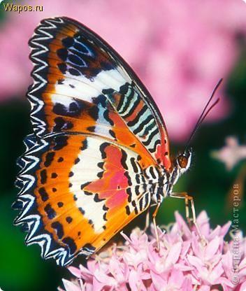 самые красивые бабочек и зверей  фото 4
