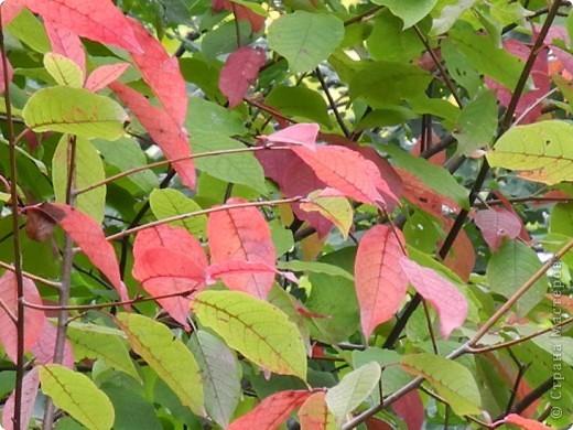 Золотая осень, моя любимая  пора, когда днем еще тепло, сухо , появились желтые листья и можно гулять и шелестеть , идти и петь. За окном у меня-ночь. А мне не спится, я еще полна той энергетикой минувшего дня, который я провела на природе с подругой. фото 7