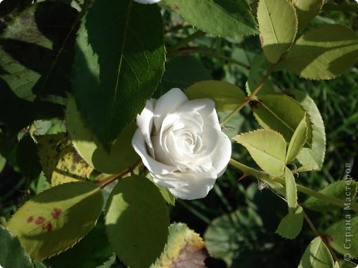 Моя роза в интерьере. Холодный фарфор. Готовая масса. Лепила первый раз. фото 1