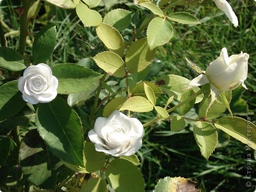 Моя роза в интерьере. Холодный фарфор. Готовая масса. Лепила первый раз. фото 2
