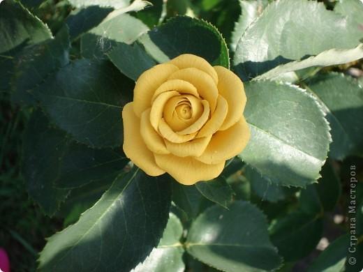 Моя роза в интерьере. Холодный фарфор. Готовая масса. Лепила первый раз. фото 5