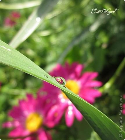после дождя в рубиновых россыпях ромашка фото 2