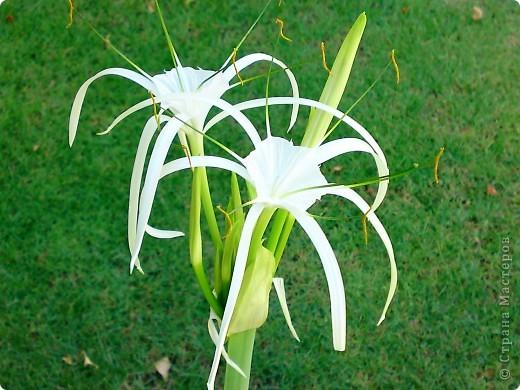 Доброго времени суток,дорогие Мастерицы!Разрешите показать Вам чудесные цветы северной Африки. Которые, несмотря на палящее солнце и изнуряющую жару, радуют нас  своей красотой и необычностью формы и цвета.   фото 14
