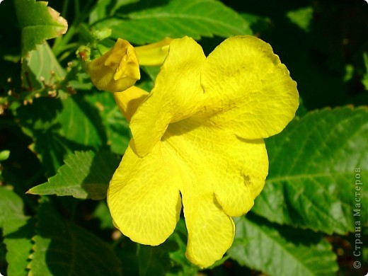 Доброго времени суток,дорогие Мастерицы!Разрешите показать Вам чудесные цветы северной Африки. Которые, несмотря на палящее солнце и изнуряющую жару, радуют нас  своей красотой и необычностью формы и цвета.   фото 24