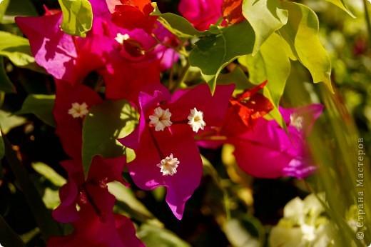 Доброго времени суток,дорогие Мастерицы!Разрешите показать Вам чудесные цветы северной Африки. Которые, несмотря на палящее солнце и изнуряющую жару, радуют нас  своей красотой и необычностью формы и цвета.   фото 4
