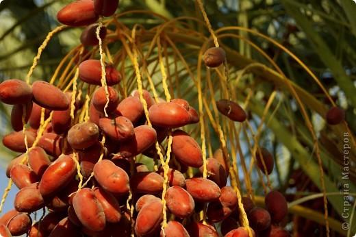 Доброго времени суток,дорогие Мастерицы!Разрешите показать Вам чудесные цветы северной Африки. Которые, несмотря на палящее солнце и изнуряющую жару, радуют нас  своей красотой и необычностью формы и цвета.   фото 7
