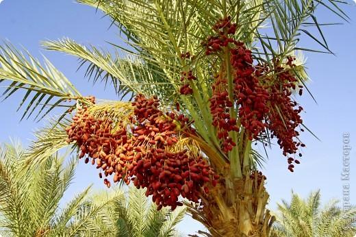 Доброго времени суток,дорогие Мастерицы!Разрешите показать Вам чудесные цветы северной Африки. Которые, несмотря на палящее солнце и изнуряющую жару, радуют нас  своей красотой и необычностью формы и цвета.   фото 6