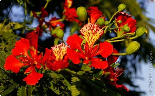 Доброго времени суток,дорогие Мастерицы!Разрешите показать Вам чудесные цветы северной Африки. Которые, несмотря на палящее солнце и изнуряющую жару, радуют нас  своей красотой и необычностью формы и цвета.   фото 9
