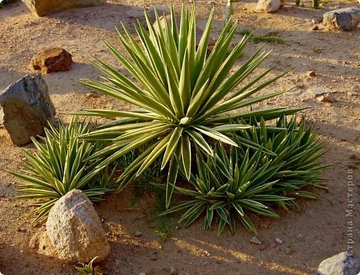 Доброго времени суток,дорогие Мастерицы!Разрешите показать Вам чудесные цветы северной Африки. Которые, несмотря на палящее солнце и изнуряющую жару, радуют нас  своей красотой и необычностью формы и цвета.   фото 10