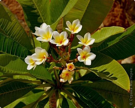 Доброго времени суток,дорогие Мастерицы!Разрешите показать Вам чудесные цветы северной Африки. Которые, несмотря на палящее солнце и изнуряющую жару, радуют нас  своей красотой и необычностью формы и цвета.   фото 12