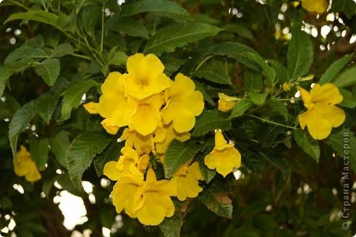 Доброго времени суток,дорогие Мастерицы!Разрешите показать Вам чудесные цветы северной Африки. Которые, несмотря на палящее солнце и изнуряющую жару, радуют нас  своей красотой и необычностью формы и цвета.   фото 15