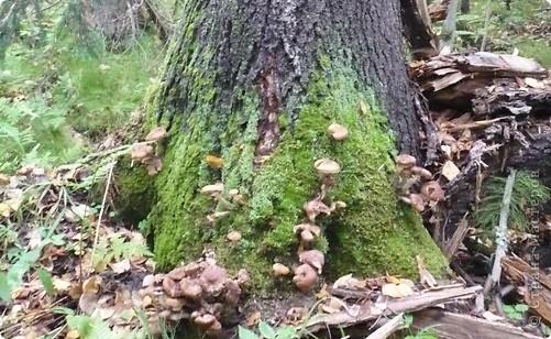 Сегодня ходили за грибами, собрали 4 ведра. А только вечером узнали . что сегодня Семенов день и нужно собирать грибы. Вот такое совпадение. фото 1