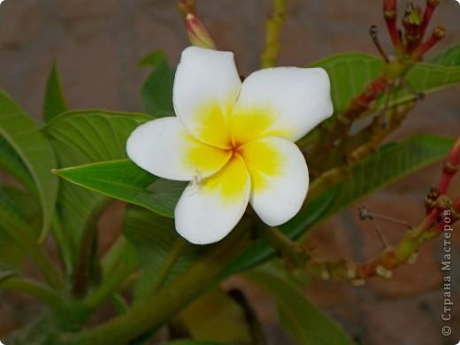 Доброго времени суток,дорогие Мастерицы!Разрешите показать Вам чудесные цветы северной Африки. Которые, несмотря на палящее солнце и изнуряющую жару, радуют нас  своей красотой и необычностью формы и цвета.   фото 16