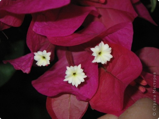 Доброго времени суток,дорогие Мастерицы!Разрешите показать Вам чудесные цветы северной Африки. Которые, несмотря на палящее солнце и изнуряющую жару, радуют нас  своей красотой и необычностью формы и цвета.   фото 17