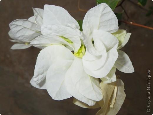 Доброго времени суток,дорогие Мастерицы!Разрешите показать Вам чудесные цветы северной Африки. Которые, несмотря на палящее солнце и изнуряющую жару, радуют нас  своей красотой и необычностью формы и цвета.   фото 18