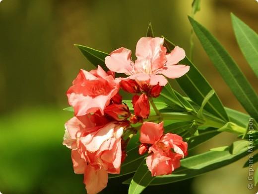 Доброго времени суток,дорогие Мастерицы!Разрешите показать Вам чудесные цветы северной Африки. Которые, несмотря на палящее солнце и изнуряющую жару, радуют нас  своей красотой и необычностью формы и цвета.   фото 21