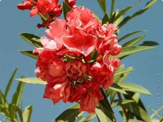 Доброго времени суток,дорогие Мастерицы!Разрешите показать Вам чудесные цветы северной Африки. Которые, несмотря на палящее солнце и изнуряющую жару, радуют нас  своей красотой и необычностью формы и цвета.   фото 1