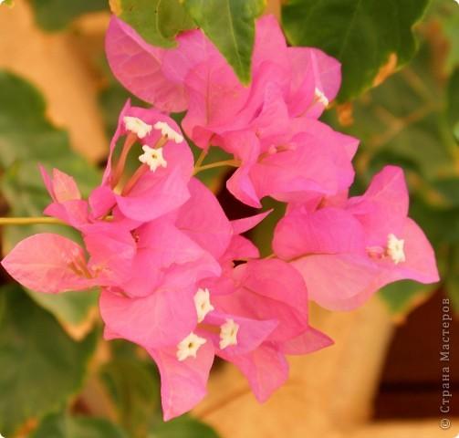 Доброго времени суток,дорогие Мастерицы!Разрешите показать Вам чудесные цветы северной Африки. Которые, несмотря на палящее солнце и изнуряющую жару, радуют нас  своей красотой и необычностью формы и цвета.   фото 22