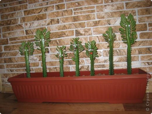 Доброго времени суток всем! Не могу удержаться не похвастаться армией кактусов, которые живут у моей сестренки Галочки, посадили их в одно время и были они примерно одного роста, а через некоторое время встал такой вот строй!!!!! фото 1