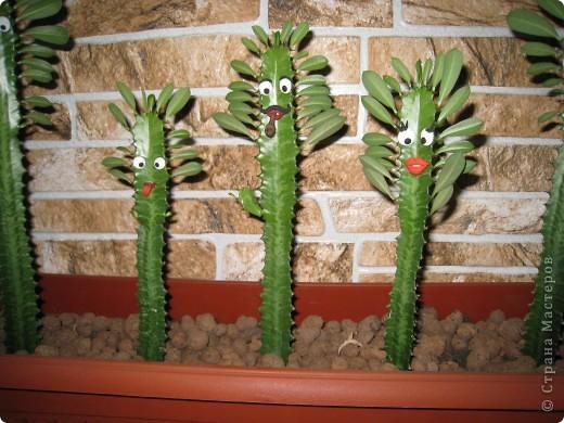 Доброго времени суток всем! Не могу удержаться не похвастаться армией кактусов, которые живут у моей сестренки Галочки, посадили их в одно время и были они примерно одного роста, а через некоторое время встал такой вот строй!!!!! фото 2