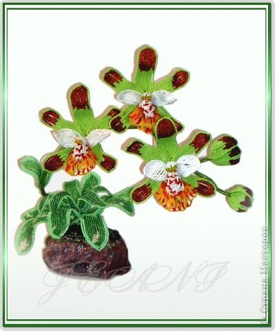 """Орхидея """"Майори"""" фото 1"""