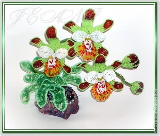 """Орхидея """"Майори"""" фото 2"""