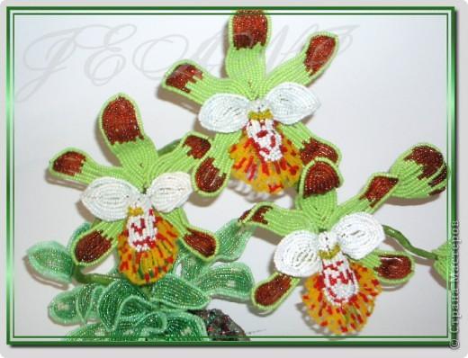 """Орхидея """"Майори"""" фото 3"""
