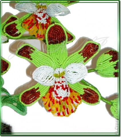 """Орхидея """"Майори"""" фото 4"""