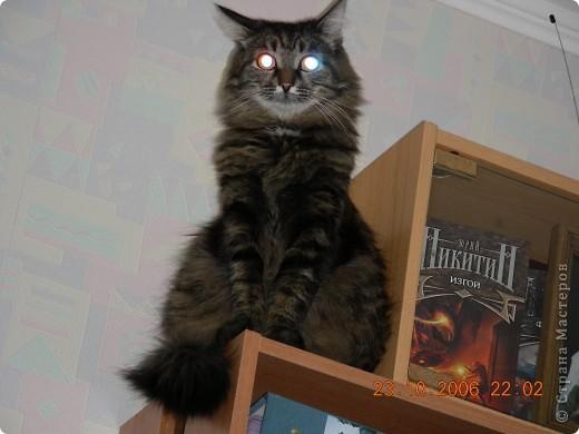 Знакомтесь - это наш кот Степан. Подобрали на улице, т.ч. порода двортерьер. Окрас очень подходит к породе Мейн-Кун, может кто в дальней родне и был. фото 1