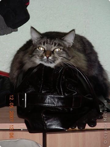 Знакомтесь - это наш кот Степан. Подобрали на улице, т.ч. порода двортерьер. Окрас очень подходит к породе Мейн-Кун, может кто в дальней родне и был. фото 6