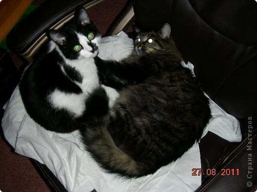 Знакомтесь - это наш кот Степан. Подобрали на улице, т.ч. порода двортерьер. Окрас очень подходит к породе Мейн-Кун, может кто в дальней родне и был. фото 9