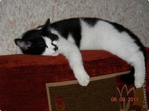 Знакомтесь - это наш кот Степан. Подобрали на улице, т.ч. порода двортерьер. Окрас очень подходит к породе Мейн-Кун, может кто в дальней родне и был. фото 8
