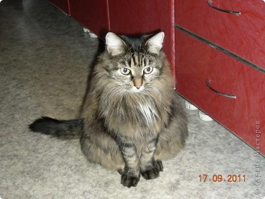 Знакомтесь - это наш кот Степан. Подобрали на улице, т.ч. порода двортерьер. Окрас очень подходит к породе Мейн-Кун, может кто в дальней родне и был. фото 11